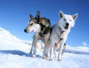 chiens traineau huskies laponie finlande suede norvege scandinavie
